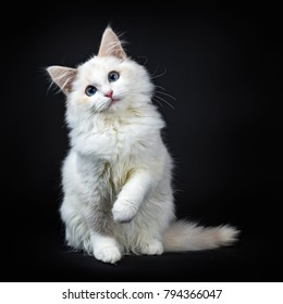 Blue eyed ragdoll cat / kitten sitting isolated on black background looking at the lens with tilted head and lifted paw