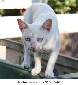 Blue eyed white cat with leopard posture on containers.