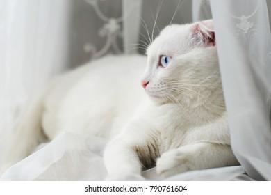 Blue eyed white cat on white background