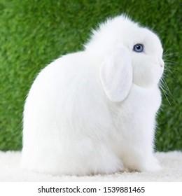 Blue Eyes Holland Lop White Rabbit Random Picture Green Background