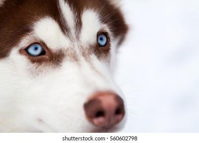 Blue eyes of Husky dog