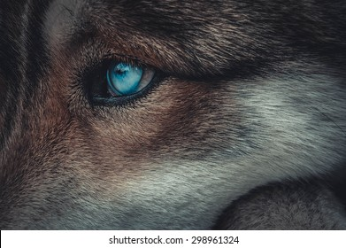blue eyes of a wolf