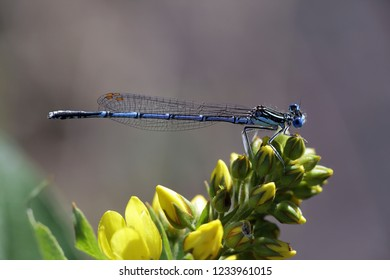 Blue featherleg, also called white-legged damselfly, Platycnemis pennipes