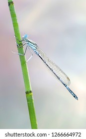 Blue featherleg, also called white-legged damselfly, Platycnemis pennipes