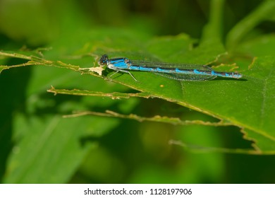 Blue female Familiar Bluet Damselfly resting on a leaf. High Park, Toronto, Ontario, Canada.
