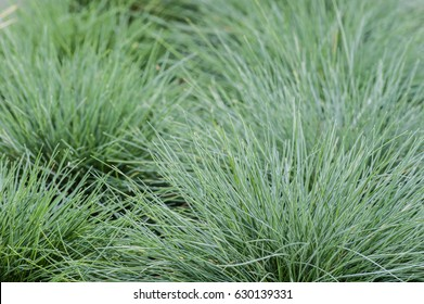 Blue Festuca glauca grass with spiny leaves in a garden bed