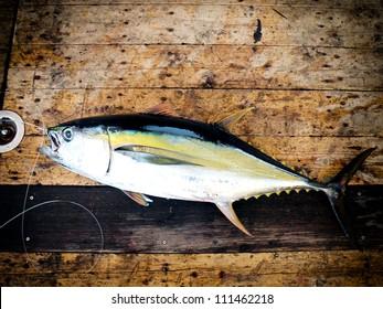 Blue fin bluefin tuna catch