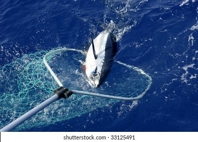 Blue fin tuna Mediterranean big game fishing and release