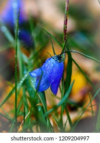 Blue flawer Campanula rotundifolia with water drops after first snow