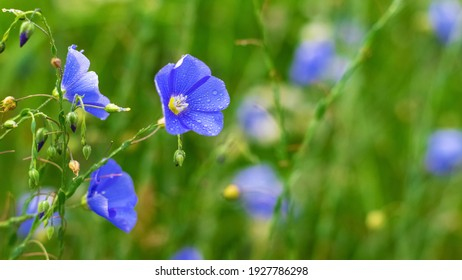 Blue flax flowers with dew drops on blurred background