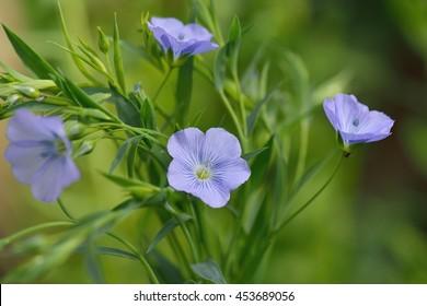 Blue Flax Flowers in field, Linum usitatissimum
