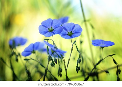 blue flax  in summer