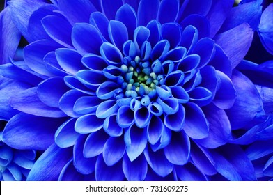 Blue flower background : close up of blue flower, aster with blue petals for background or texture