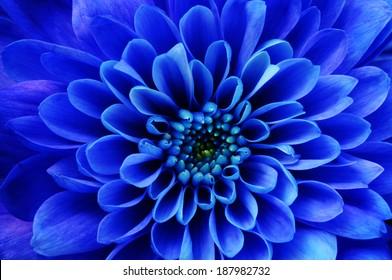 Blue flower background or detail : close up of blue aster flower