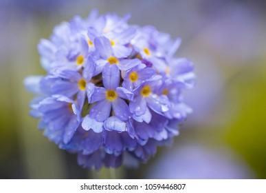 blue flower - Ball primrose (Primula denticulata)