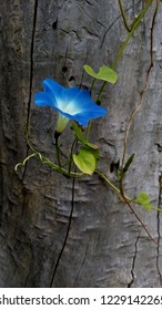 Blue flower bindweed on old tree copy space nature photo