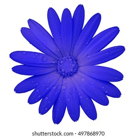 blue flower with clipping path isolated on white  background. garden flower calendula. Closeup.  water drops. Nature.