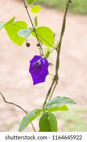 Blue flower of Clitoria ternatea, commonly known asAsian pigeonwings, bluebellvine,blue pea,butterfly pea,cordofan peaandDarwin pea. It is called Sangu Pushpam in local Indian languages