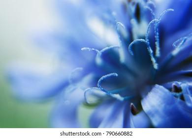 blue flower close-up. cornflower.