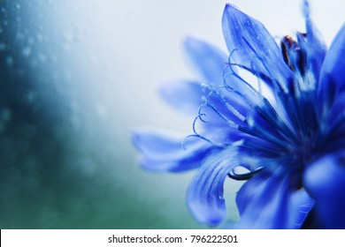 blue flower close-up. cornflower. empty space for a text