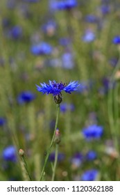 Blue flower of cornflowers in summer field