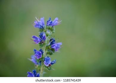 A blue flower    Echium vulgare .