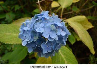 A blue flower in focus in front of its green leaves