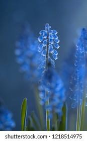 Blue flower - Grape hyacinths (Muscari) in beautiful light