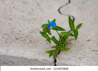 Blue flower growing through the crack in the concrete pavement. Life finds a way.