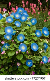 Blue flower, Morning glory flower in the garden