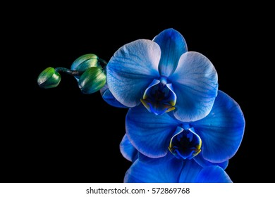 Blue flower orchid on a black background