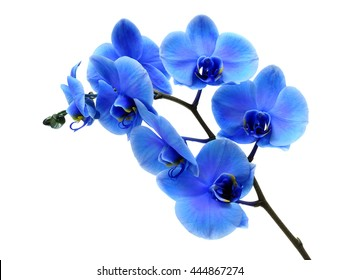 Blue flower orchid on white background