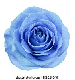 Blue flower rose  on white isolated background with clipping path.  no shadows. Closeup.  For design. Nature.