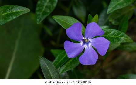Blume Vinca-Moll (kleiner periwinkle) auf der Frühlingsgartengrüne. Kleine oder gewöhnliche Wellen wachsen im wilden Wald und im landschaftlich gestalteten Garten.
