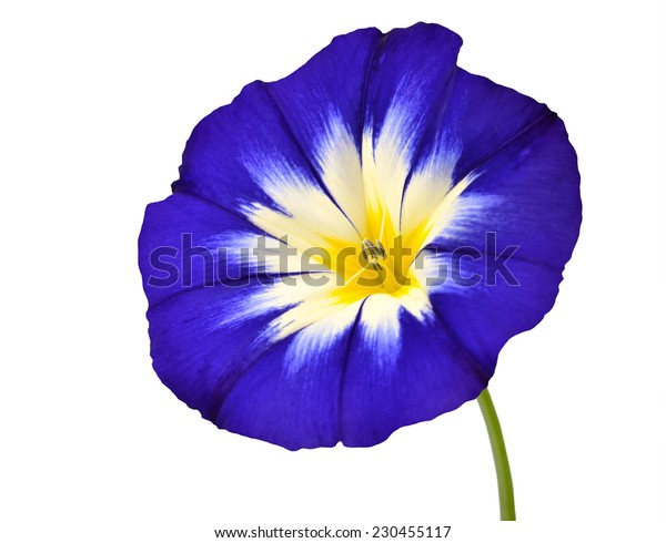 Blue Flower with White Yellow Star Shaped Center with Green Stick Isolated on  White Background. Macro of Primula Flower
