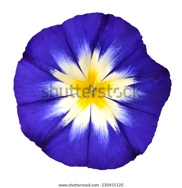 Blue Flower with White Yellow Star Shaped Center Isolated on  White Background. Macro of Primula Flower