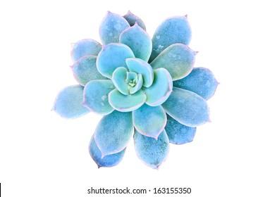 Blue flowering cactus on white background