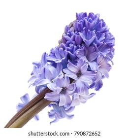 blue flowering hyacinth isolated on white background