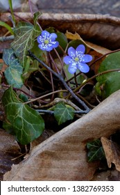 Blue flowers of american liverwort in forest