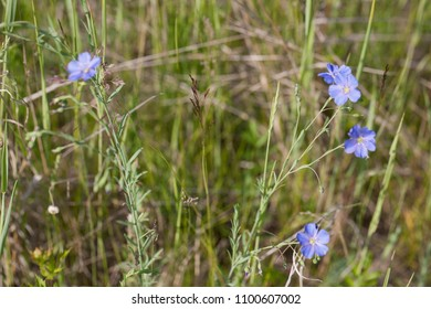 Blue flowers blooming in the wild field, summer, Russia, natural flora.