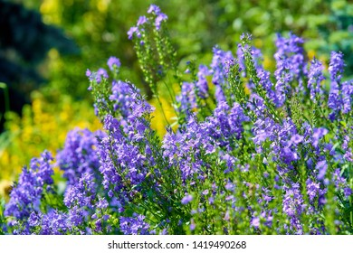 blue flowers in blossom, salvia