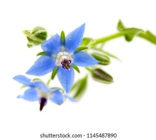 blue flowers of borage isolated on white background