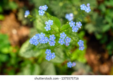 Blue flowers of Brunnera Jack Frost