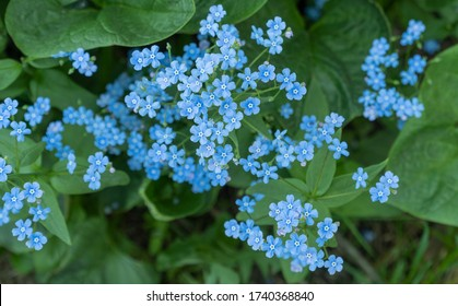 blue flowers of Brunnera macrophylla. In decorative floriculture, ee is used for group plantings, borders and on rocky hills
