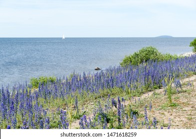 Blue flowers by the coast of the island Oland in The Baltic Sea in Sweden