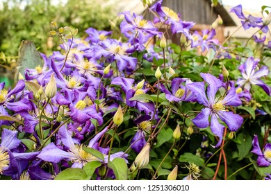 Blue flowers of clematis on the background of a green, wooden fence
