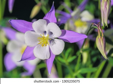 Blue flowers of Columbine are used in landscape design. Blooms Columbine flower and Bud, close-up. One beautiful blue - purple flower Aquilegia laramiensis America and two buds. For any design