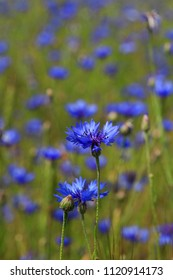 Blue flowers of cornflowers in green grass