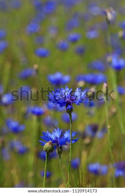 Blue flowers of cornflowers in green grass