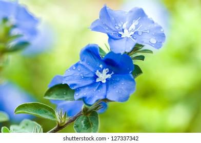 Blue flowers - blue daze